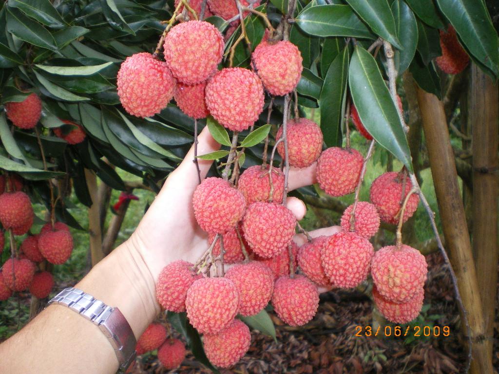 米荔枝 339农家市集 台湾当季水果蔬菜,有机农产品,产地直销